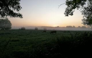 Morgenstimmung mit Weide und Kühen